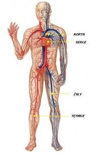 uklad_krwionosny