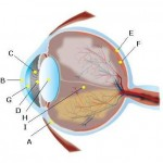 Budowa narządu wzroku